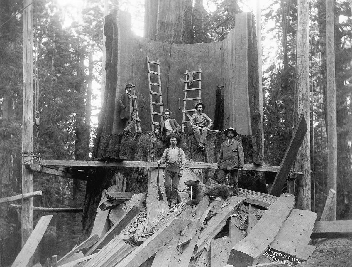 c. 1892  Loggers stand in the trunk of a tree they chopped down at Camp Badger in Tulare County, California. The tree was logged for the World's Columbian Exposition in Chicago.  Image: Corbis