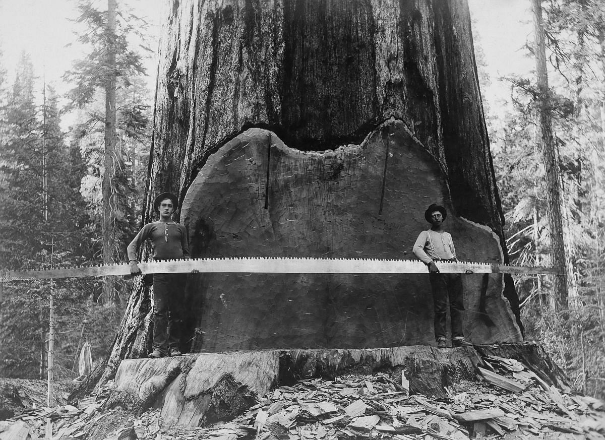 1917  Loggers hold a cross-cut saw across a giant Sequoia tree's trunk in California.  Image: A. R. Moore/National Geographic Creative/Corbis