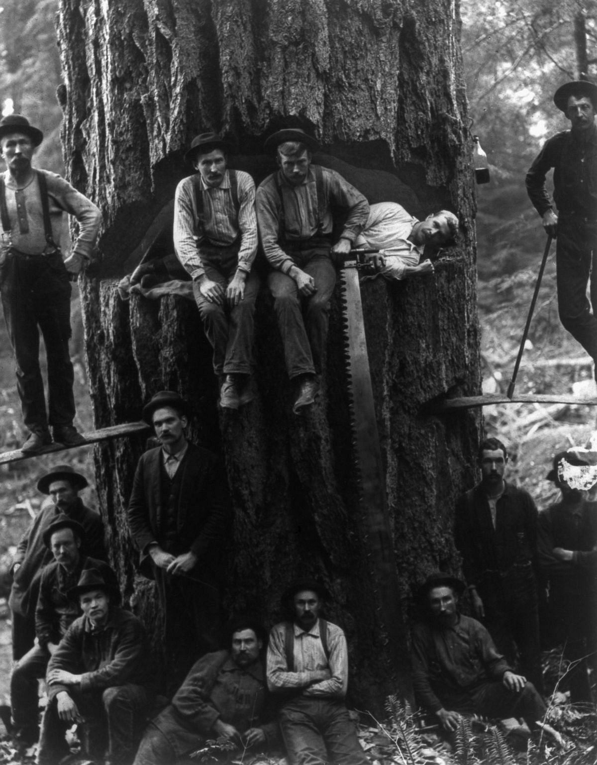 1901  Lumberjacks pose with a 12-foot-wide fir tree.  Image: Library of Congress