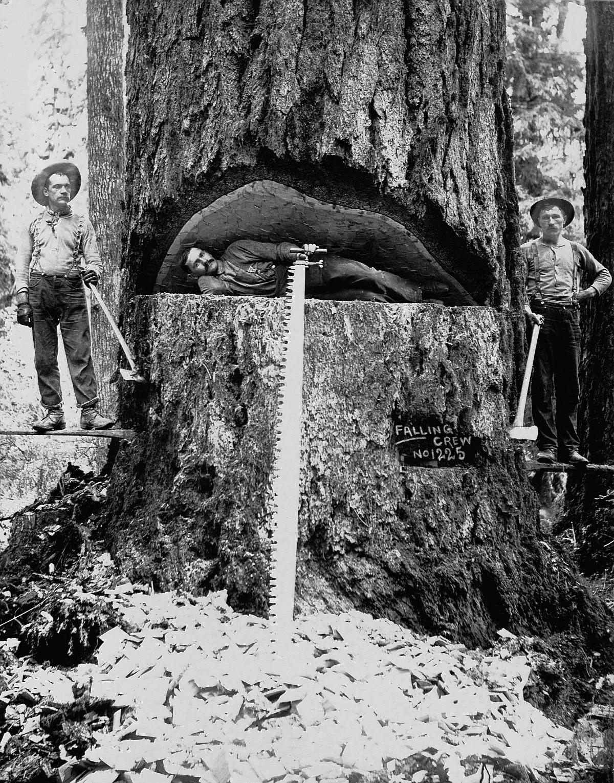1899  Lumberjacks pose with a Douglas fir tree in Washington.  Image: Corbis