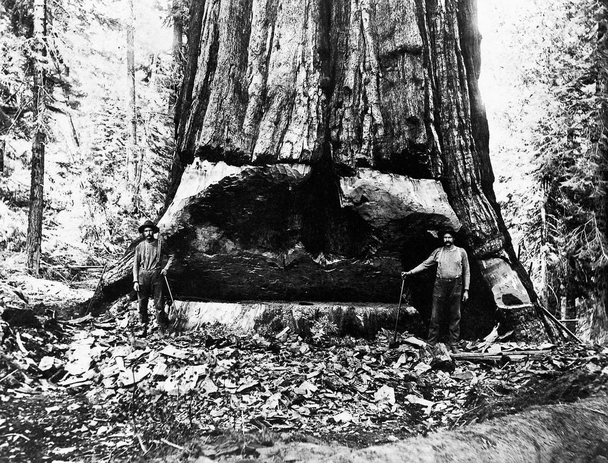 1902  Lumberjacks undercut a giant sequoia tree in California.  Image: Corbis