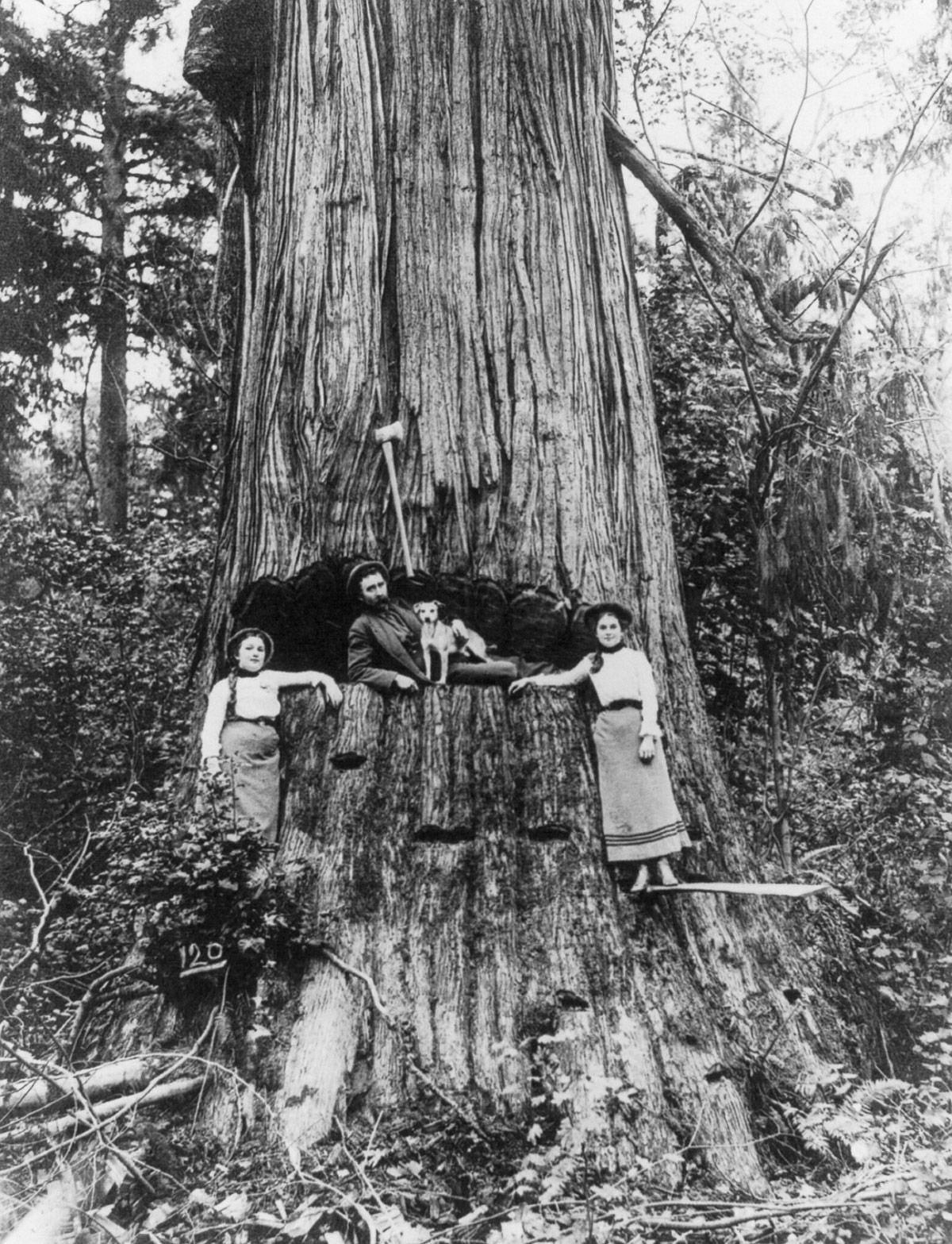 1905  A lumberjack and two women pose in front of a tree near Seattle, Washington.  Image: Library of Congress