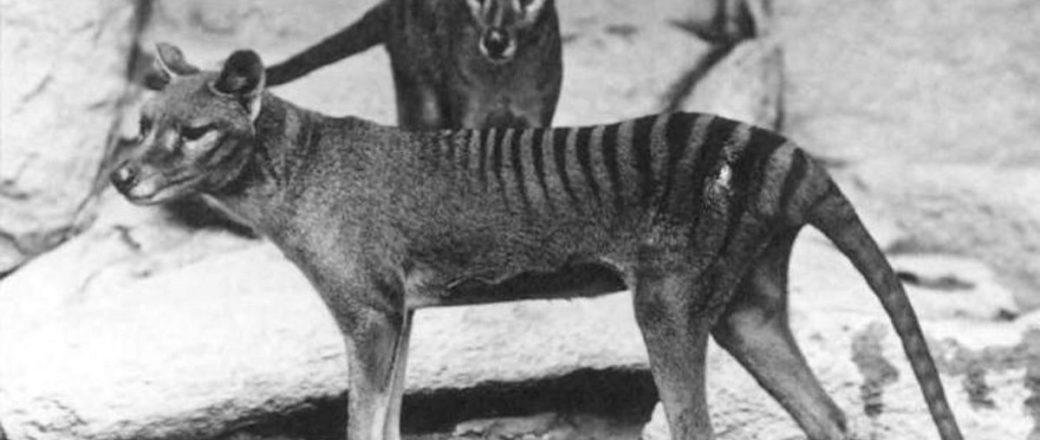 Vintage: Thylacine, Tasmanian tiger (1930s)