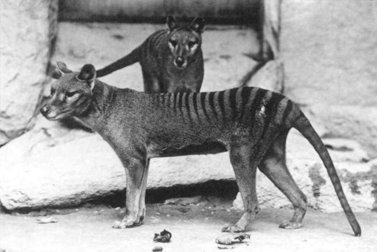 Thylacines in a Washington, D.C. zoo (c. 1906)