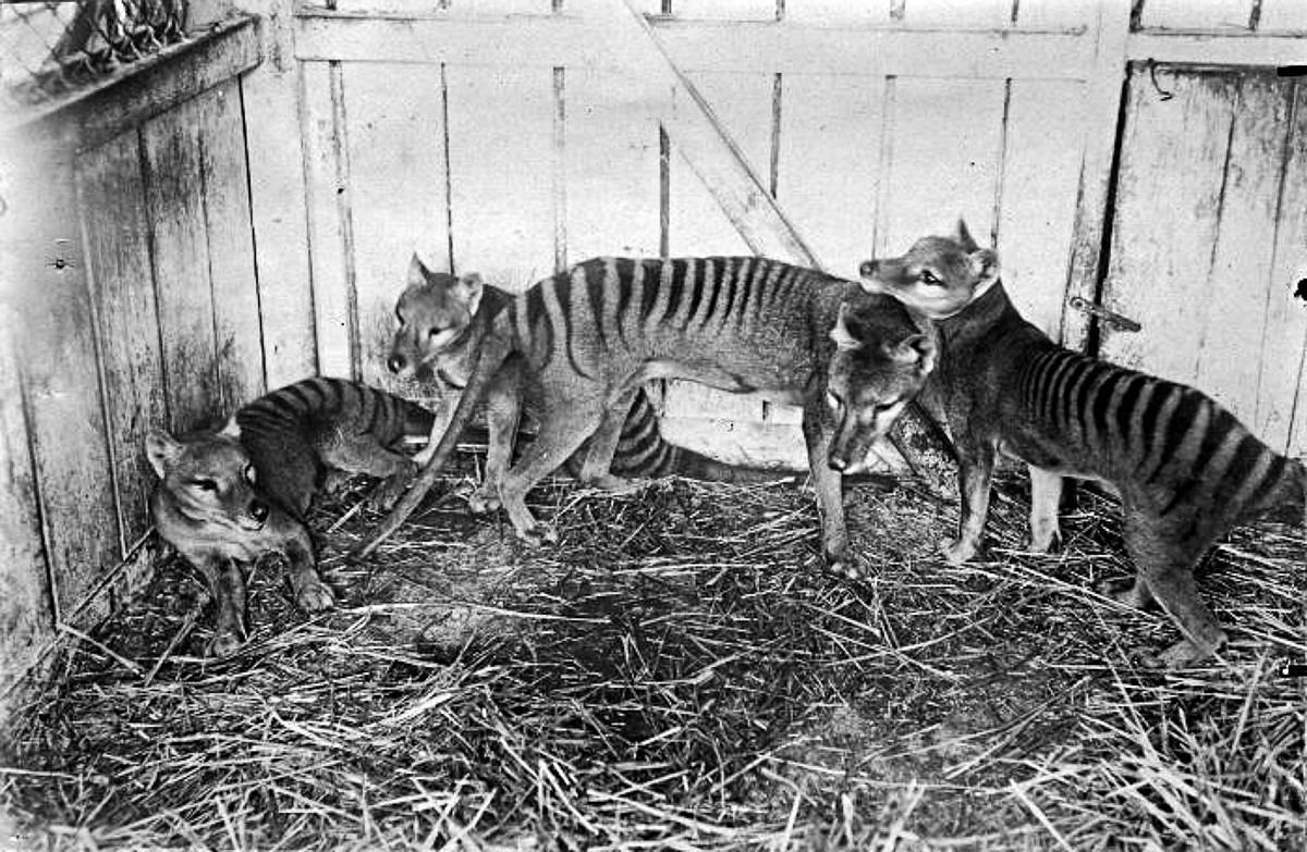 1910  A family of thylacines at the Hobart Zoo.  Image: Public Domain