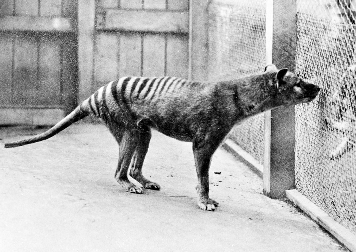 1933  One of the last thylacines in captivity at the Hobart Zoo.  Image: Universal History Archive/UIG via Getty Images