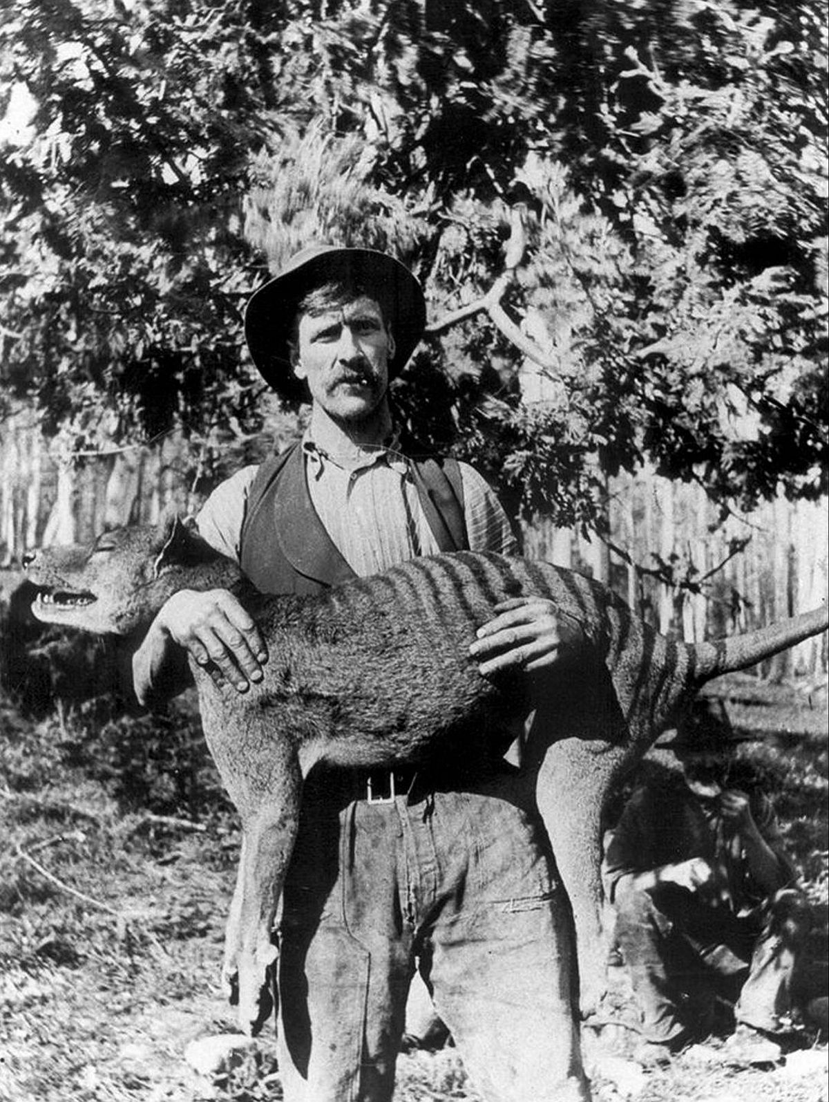 1925  A Tasmanian hunter with a recently killed thylacine.  Image: Universal History Archive/UIG via Getty Images