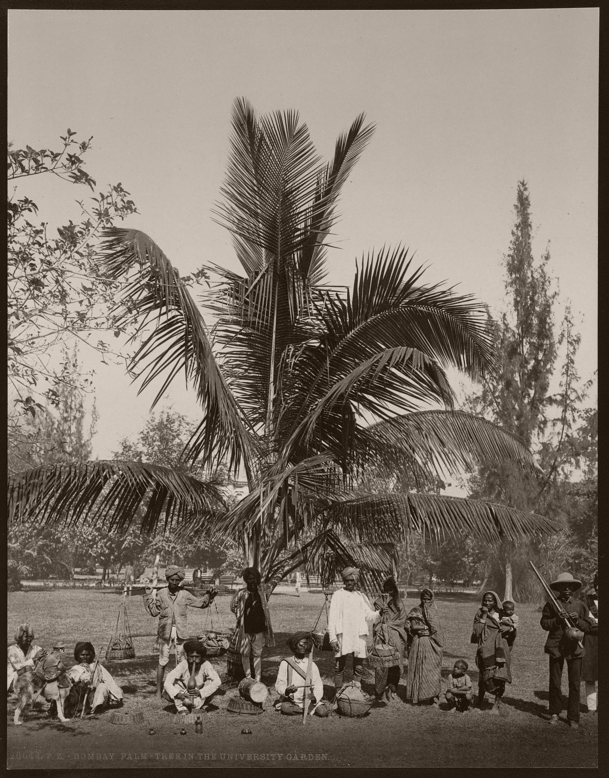 Bombay. Palm-tree in the university garden