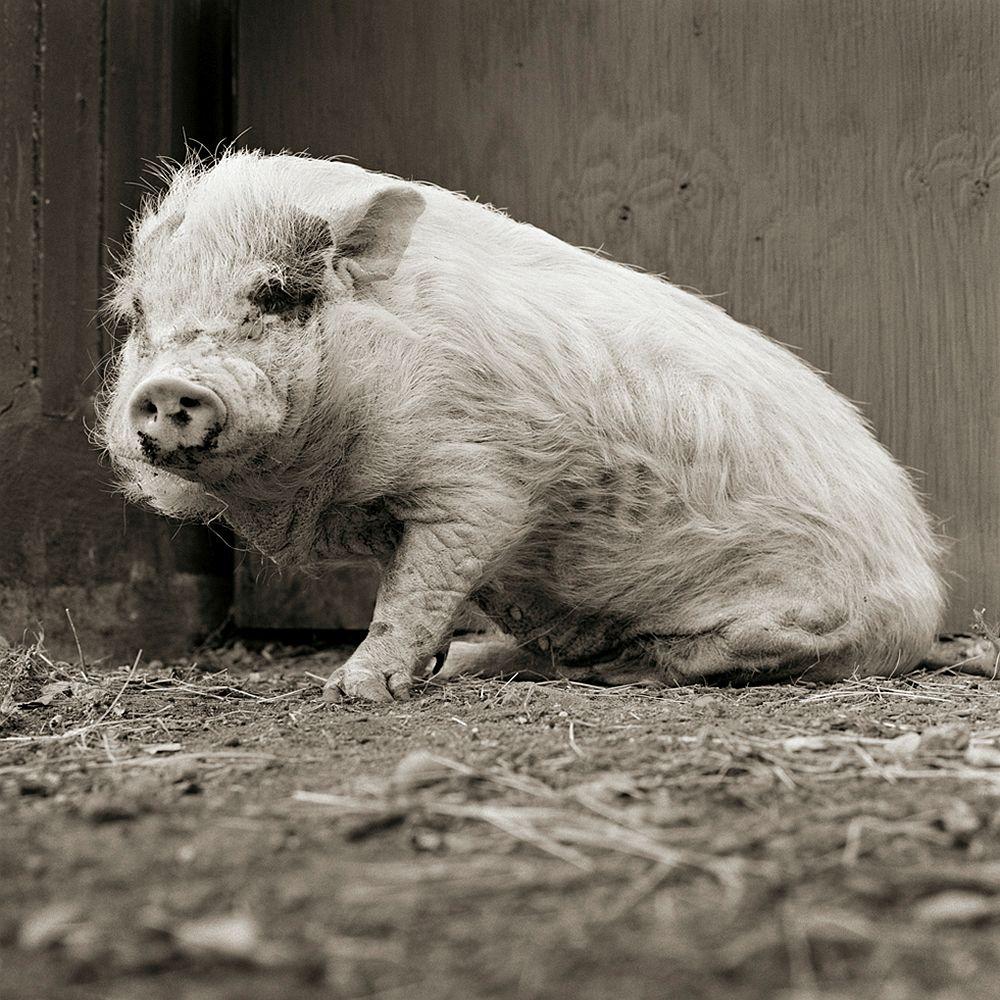 Violet, Potbellied Pig, Age 12, II 2011