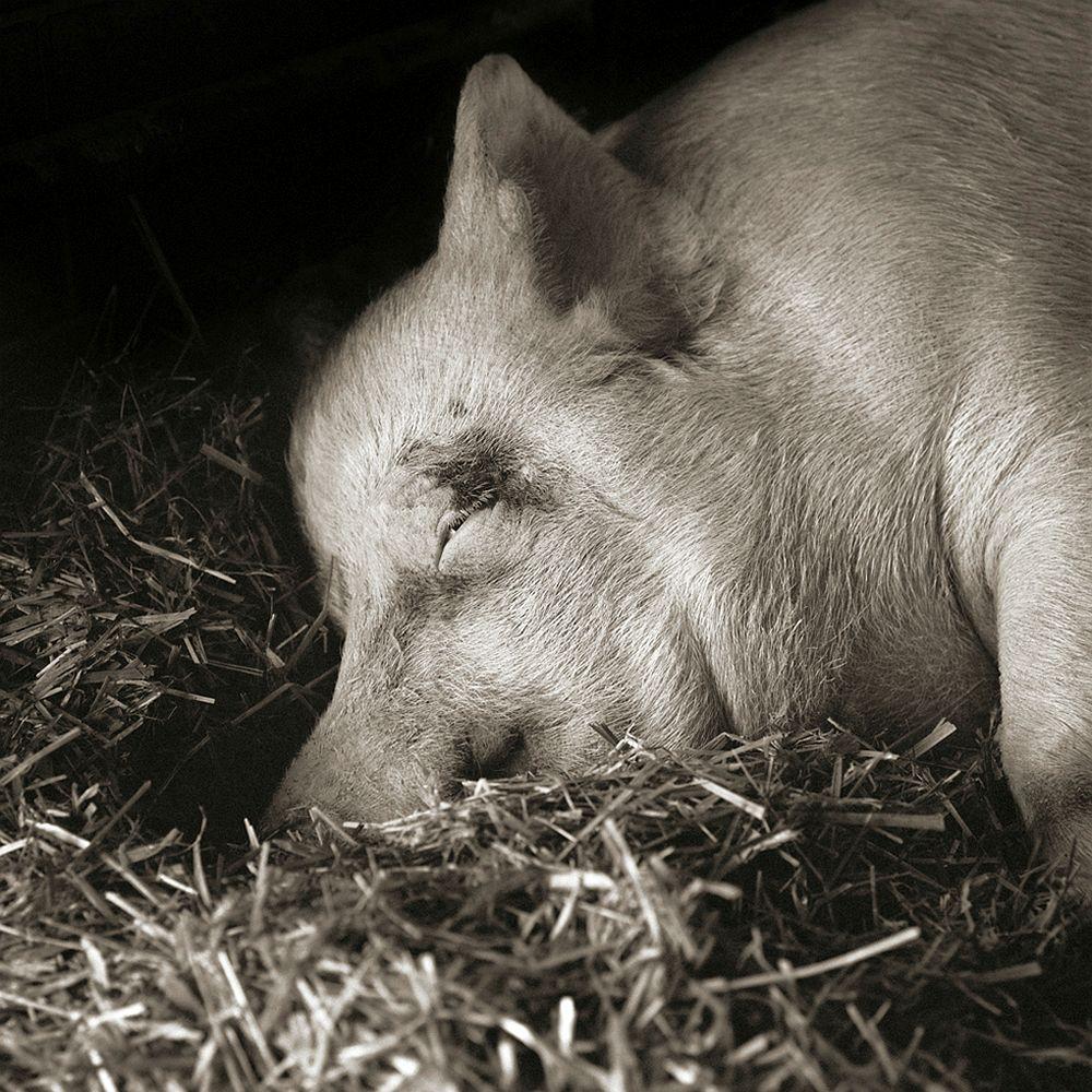 Teresa, Yorkshire Pig, Age 13 2010