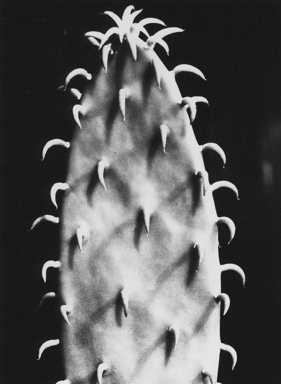 Aenne Biermann Cactus, vor 1930 Gelatin silver print, 17,2 x 12,1 cm Museum Folkwang, Essen