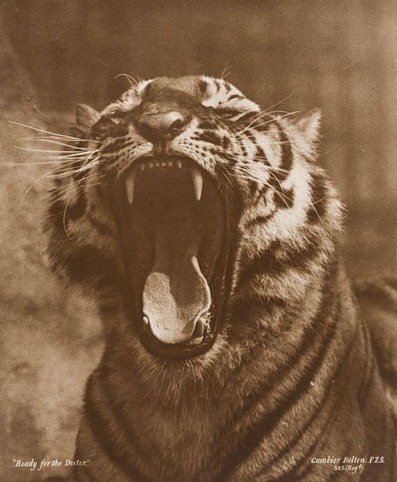 Gambier Bolton: Portrait of a Tiger Baring its Teeth (London Zoo), circa 1891, carbon print © Archiv der Universität der Künste, Berlin