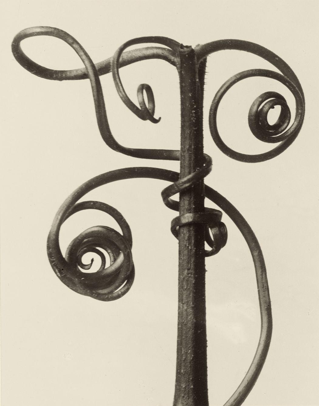 "Karl Blossfeldt (1865–1932) Cucurbita. Kürbisranke, 4 mal vergrößert aus dem Portfolio ""Karl Blossfeldt. 12 Fotografien"" (Galerie Wilde, Köln 1975), 1900-1928 (Abzug 1975), Silbergelatineabzug, 19,5 x 24,6 cm © Kunstpalast, Düsseldorf"