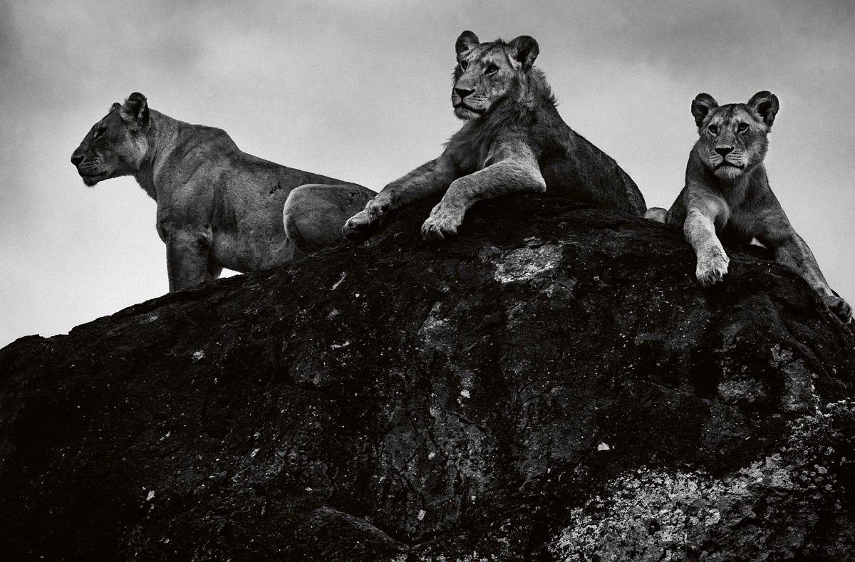 © Laurent Baheux: Lions