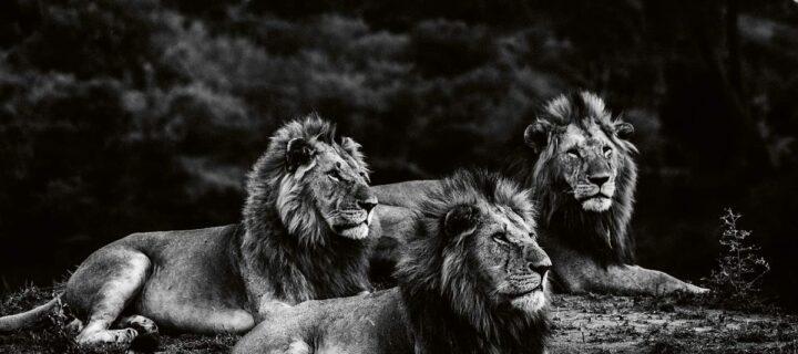 Laurent Baheux: Lions