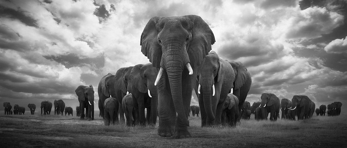 Björn Persson, Pride of Africa, Amboseli, Kenya, 2018 18 x 41 inches - (other sizes & pricing available) Pigment print from a limited edition of 10 $2,500 USD (plus tax & framing) Robert Klein Gallery, Boston