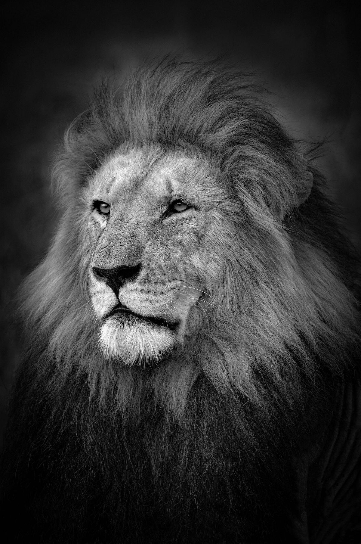 Björn Persson, The King, Masai Mara, Kenya, 2017 27.5 x 41 inches - (other sizes & pricing available) Pigment print from a limited edition of 10 $2,500 USD (plus tax & framing) Robert Klein Gallery, Boston