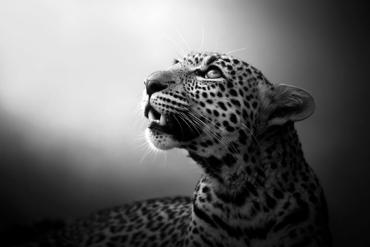 Björn Persson, Soul of the Leopard, Masai Mara, Kenya, 2017 27.5 x 41 inches - (other sizes & pricing available) Pigment print from a limited edition of 10 $2,500 USD (plus tax & framing) Robert Klein Gallery, Boston